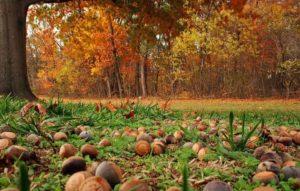 Собирательство орех в лесу