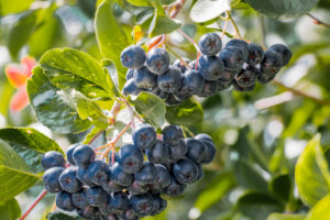 Арония черноплодная - идеальный кустарник